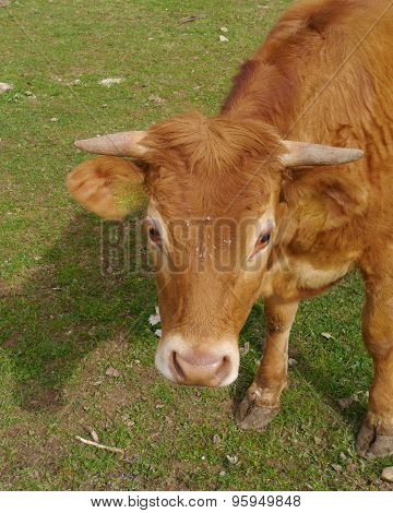 A portrait of a young red brown cow