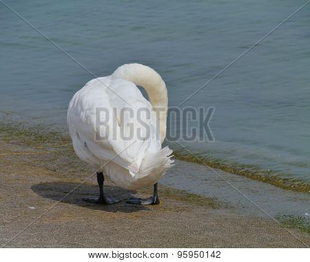 A cygnus olor or mute swan