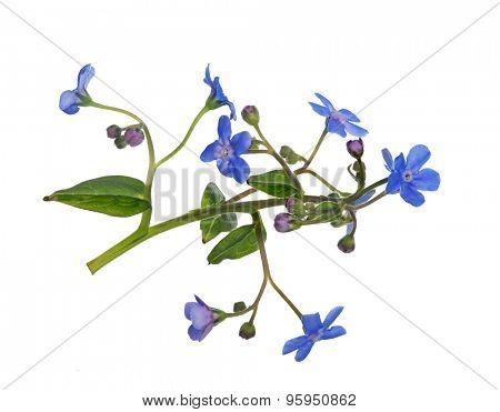 light blue forget-me-not flower isolated on white background