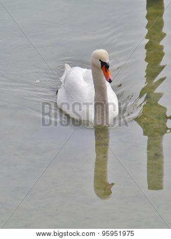 A mute swan or cygnus olur