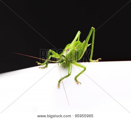 Cute macro green grasshopper on white and black background