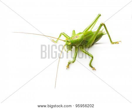 Cute macro green grasshopper with copy space isolated on white background