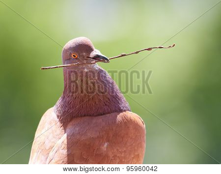 Dove With Branch In Its Beak On Blurred Green Background