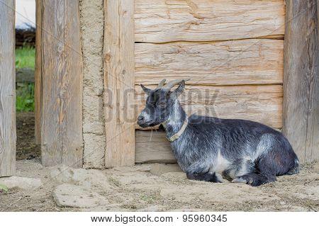 Goat Lying On A Wooden Sty