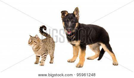 German Shepherd puppy and a cat Scottish Straight