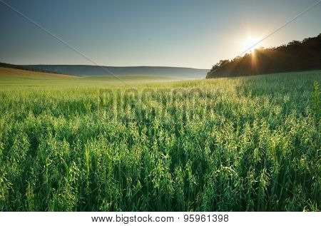 Meadow of oats.  Nature composition.
