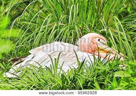 Oriental White Stork.
