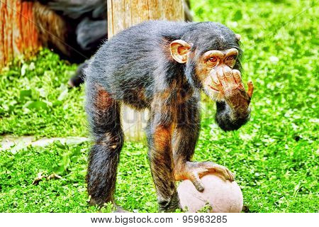 Apes - Chimpanzee Monkey.