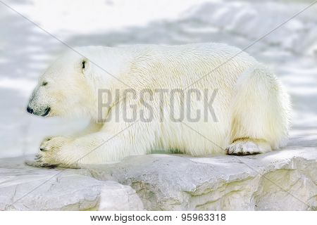 Polar White  Bear In His  Natural Habitat.
