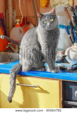Grey Cat Sitting On Kitchen