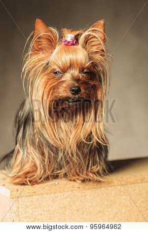 cute  yorkshire terrier puppy dog  posing with eyes closed in studio