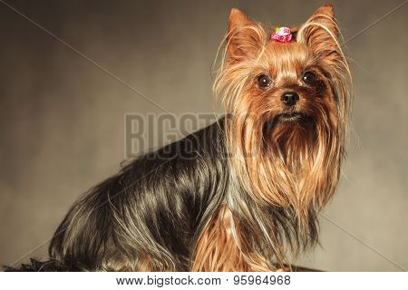 side view of a seated yorkshire terrier puppy dog with long coat looking at the camera