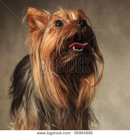 picture of a cute yorkie puppy dog with long coat standing with mouth open and looking up on studio background