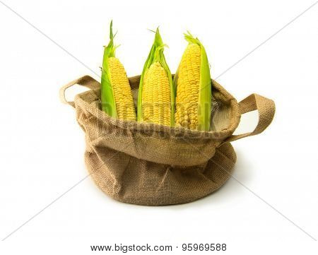 Fresh harvested corn in a burlap basket, with husks intact, isolated on white. Focus is on middle corn.