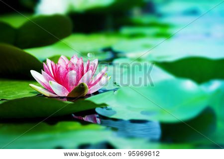 Pink lotus flowers blooming in a quiet early summer swamp. Shallow depth of field.