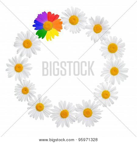 Chamomile Concept Chamomile Frame Concept With Gay Culture Symbol, Lgbt Sign Is Isolated On White Ba