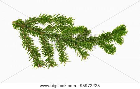 pine branch, vector