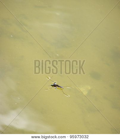 Pond Skater Eat Fly