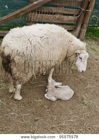 A just born lamb during springtime