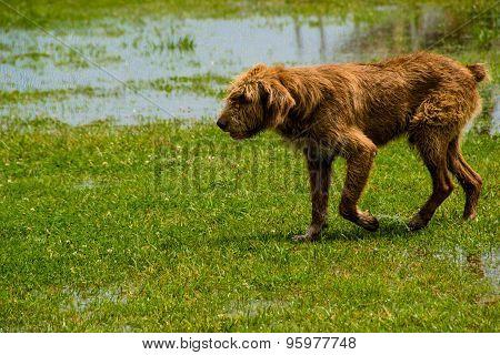 stray red dog run on green grass