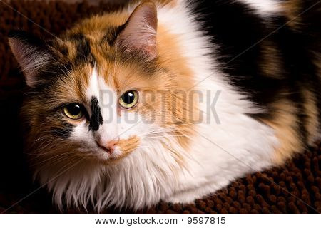 Closeup Of Calico Cat