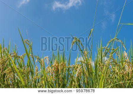 Rice Grains On Blue Sky