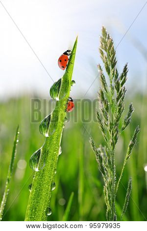 Fresh morning dew on green grass and ladybirds
