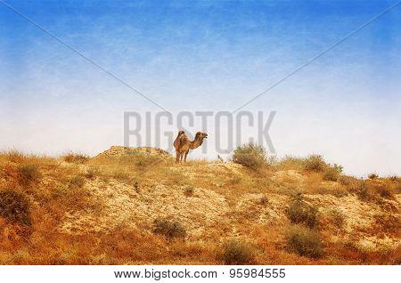 Arabian Camel Graze At The Israeli Negev Desert.