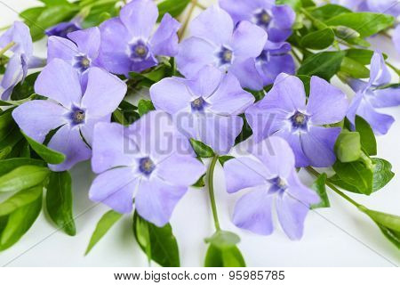 Purple periwinkle, closeup