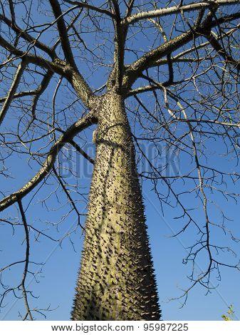 Chorisia Tree Trunk