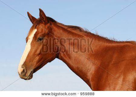 English Race Horse