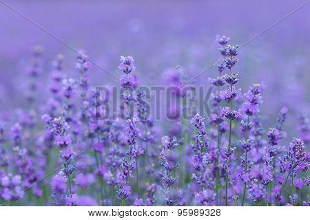 Lavender Field In The Crimea. Crimean Provence.