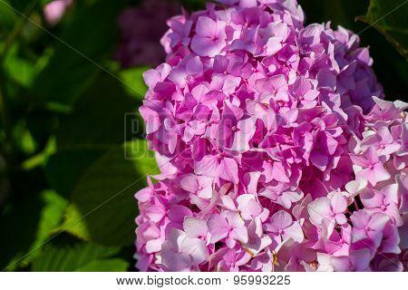 bush blooming pink flowers