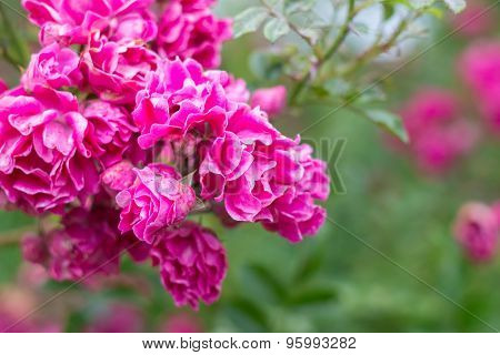 flourishing pink rose bush, full bloom