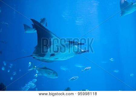 Underwater shot of manta ray, also known as the devil fish