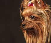 stock photo of yorkshire terrier  - side view of a cute yorkshire terrier puppy dog - JPG