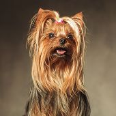 stock photo of yorkshire terrier  - cute seated yorkshire terrier puppy dog looking up at something  - JPG