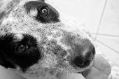 image of heeler  - a close up black and white image of a blue heeler dog with its tongue out - JPG