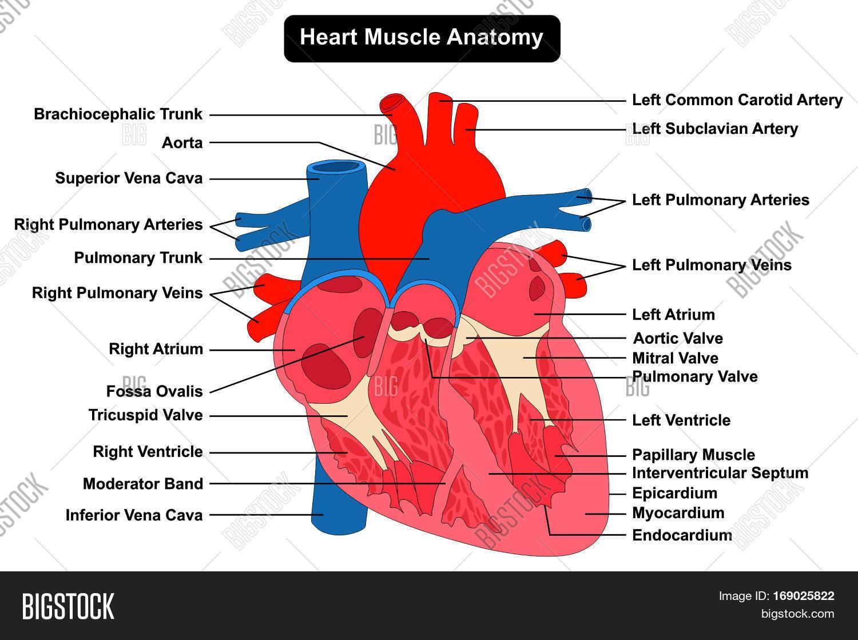 Human Heart Muscle Anatomy Image & Photo   Bigstock