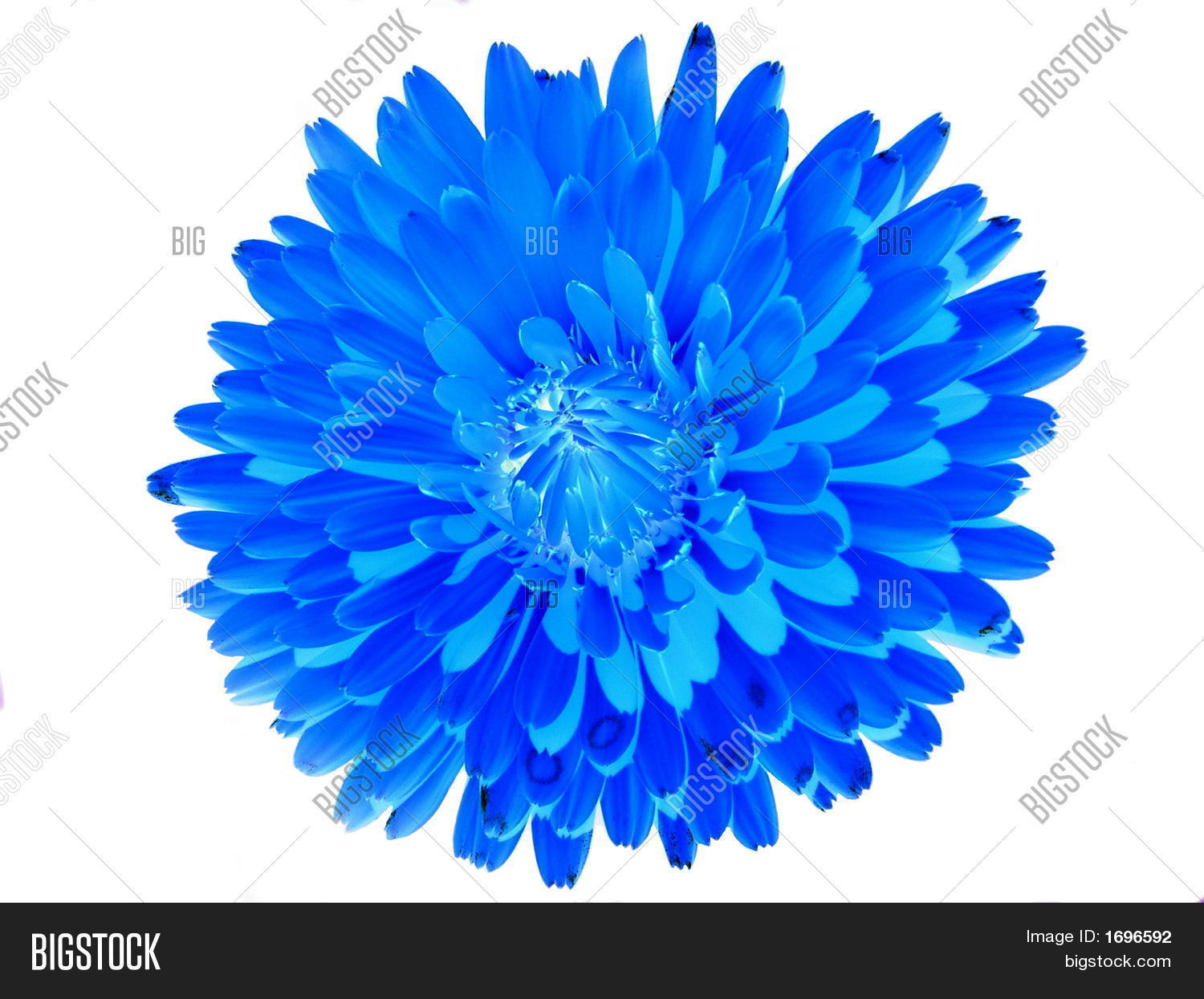 Blue Abstract Pot Marigold Flower On White Background Stock Photo