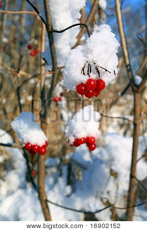 viburnum in snow