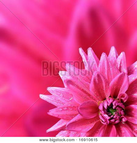 petal of the dahlia