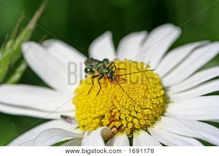 Insect On Daisy Flower