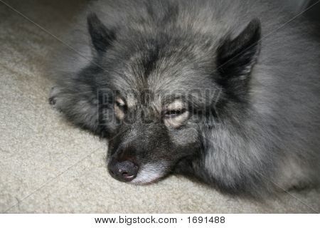 Sleeping Eskimo Dog