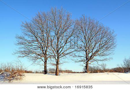 oak wood on winter field