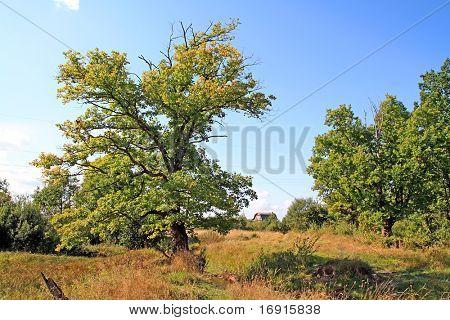 yellow oak on autumn field