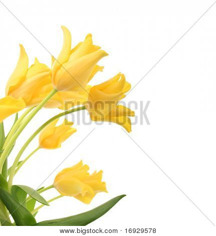 helle gelbe Tulpen, isolated on white