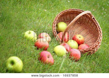 cesta con manzanas frescas de dulces en la hierba verde
