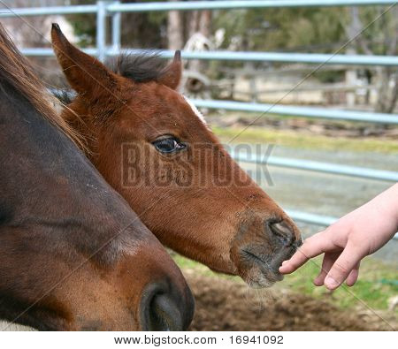 Curious baby horse
