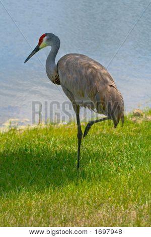 Leg Up Sandhill Crane